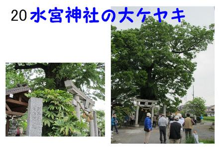 020 水宮神社の大ケヤキ.jpg