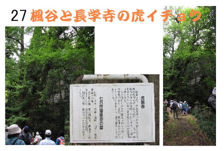 027 楓谷と長学寺の虎イチョウ.jpg