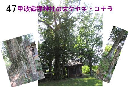 047番 甲波宿禰神社の大ケヤキ・コナラ.jpg