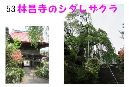 053番 林昌寺のシダレザクラ.jpg