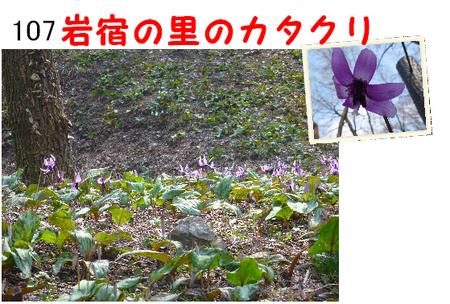 107番 岩宿の里のカタクリ (1).jpg