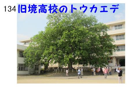 134番 旧境高校のトウカエデ.jpg