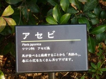 20150212 アセビ (1) 上野東照宮 ぼたん苑.JPG