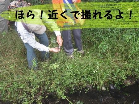 20150827 (77) アケボノソウ.JPG
