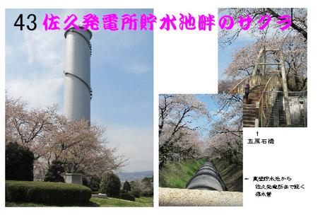 43番 佐久発電所貯水池畔のサクラ.jpg