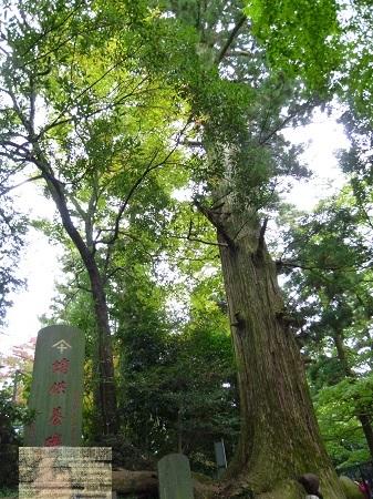 6-たこ杉.JPG
