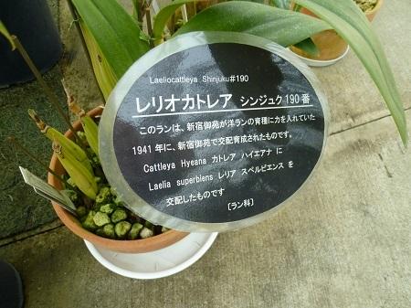 レリオカトレア シンジュク190番 新宿御苑 大温室 (2).JPG