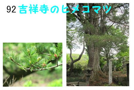吉祥寺のヒメコマツ (1).jpg