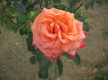 薔薇:アリゾナ[敷島ばら園].JPG