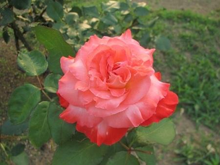 薔薇:ブリガドーン[敷島ばら園] (1).JPG