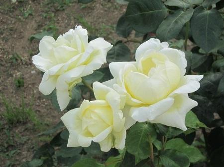 薔薇:マグレディース イエロー[敷島ばら園].JPG