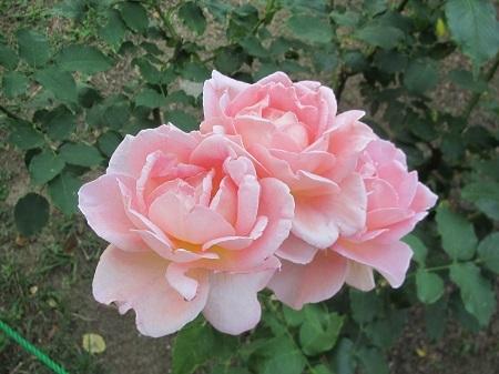 薔薇:栄光.JPG