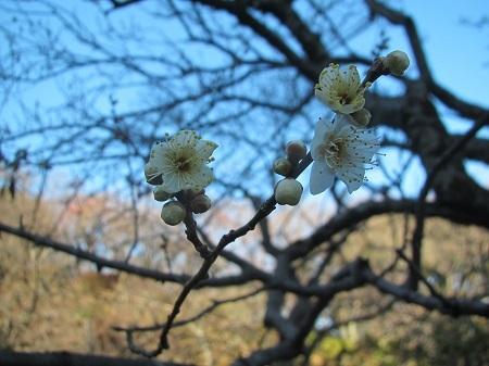 2月2日 梅:オモイノママ (1) 百草園.JPG