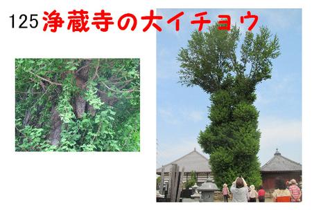 125番 浄蔵寺の大イチョウ.jpg