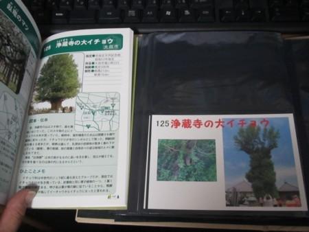 125番 浄蔵寺の大イチョウ (4).JPG