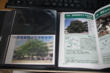 134番 旧境高校のトウカエデ (2).JPG