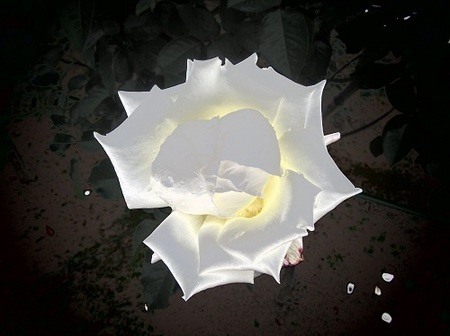 レーシー レディ「白薔薇」.JPG